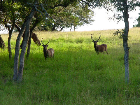 Sika deer at Broken Arrow Ranch